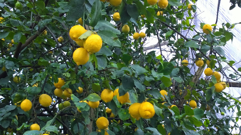 limoneto-sorrentino_1454942357