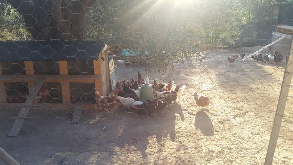 le galline vagabonde